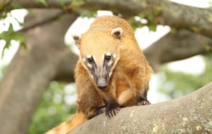 Coati Download Free Backgrounds HD