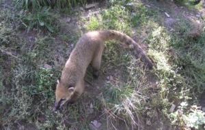 Coati Free Download