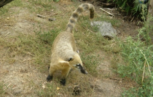Coati Free HD Wallpapers