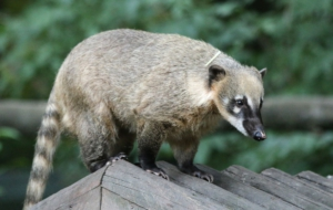 Coati HD Background