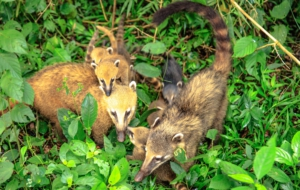 Coati For Desktop Background