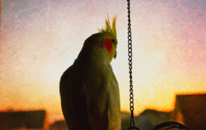 Cockatiel Background