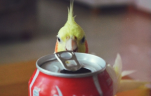 Cockatiel HD