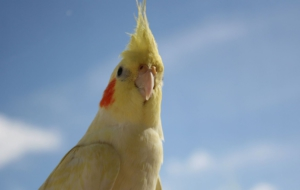 Cockatiel HD Wallpaper