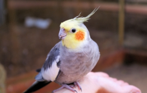 Cockatiel Widescreen