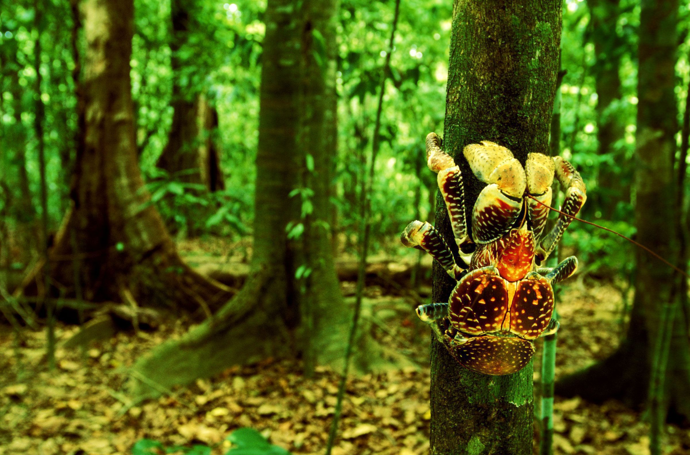 Coconut Crab Wallpapers Backgrounds