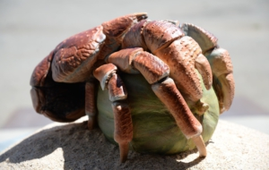 Coconut Crab Free Download