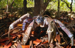 Coconut Crab HD Wallpaper
