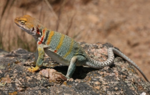 Collared Lizard Background