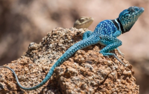 Collared Lizard Computer Wallpaper