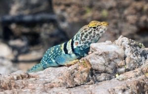 Collared Lizard Desktop