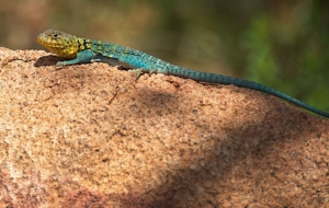 Collared Lizard Desktop Images