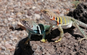 Collared Lizard Desktop Wallpaper