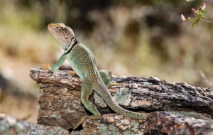 Collared Lizard Download Free Backgrounds HD
