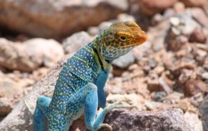 Collared Lizard Free Download