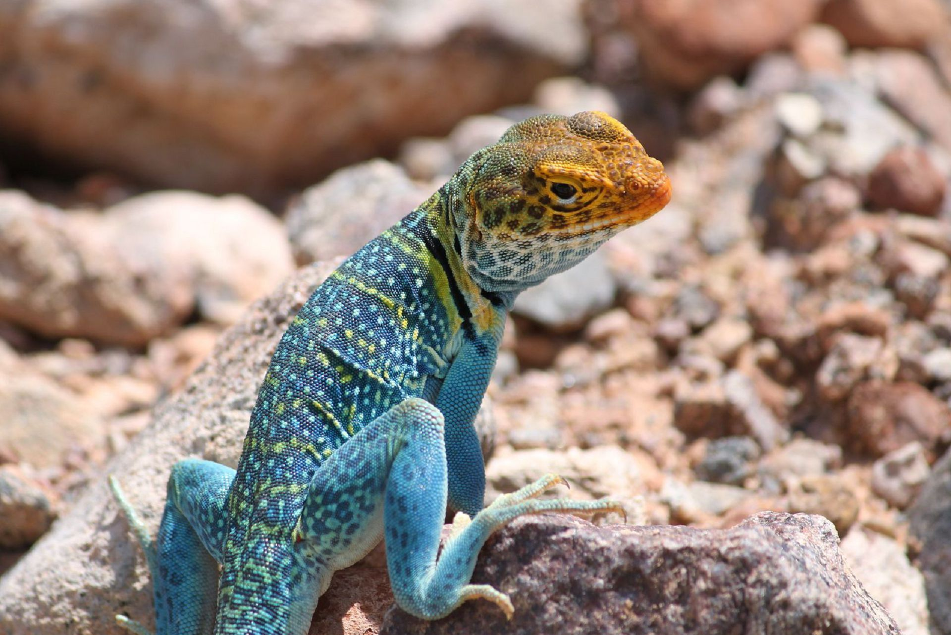 """lizard essay Blue tongue lizard ectotherms are """"cold-blooded"""" animals such as reptiles, amphibians, insects, fish and worm these animals rely on the outside environment for their body heat as they do not generate heat internally like a mammal or bird."""