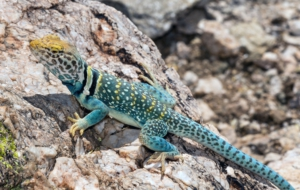Collared Lizard HD
