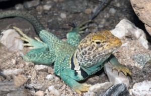 Collared Lizard HD Background
