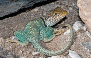 Collared Lizard HD Desktop