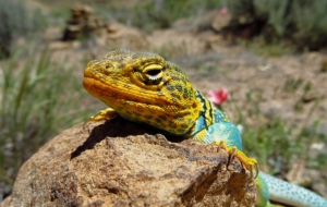 Collared Lizard HD Wallpaper