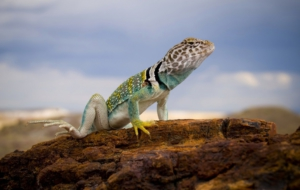Collared Lizard Images