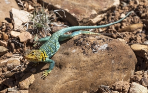 Collared Lizard Photos