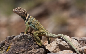 Collared Lizard Wallpaper