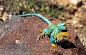 Collared Lizard Wallpaper For Computer