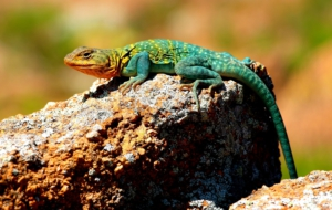 Collared Lizard Wallpapers