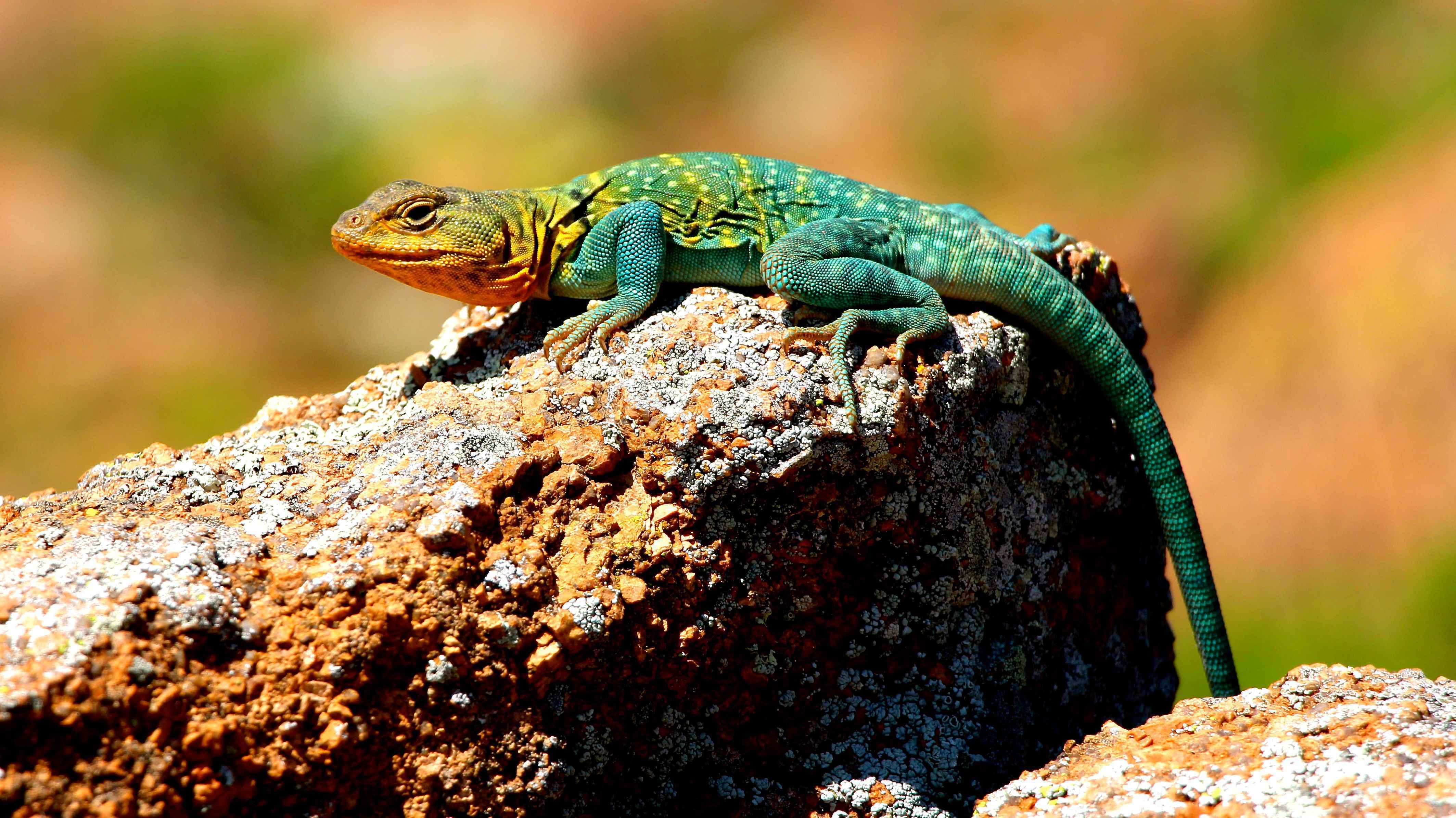 Collared Lizard Wallpapers Backgrounds