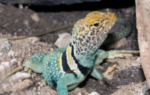 Collared Lizard For Desktop