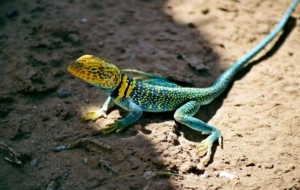 Collared Lizard Full HD