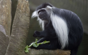 Colobus Monkey Computer Backgrounds