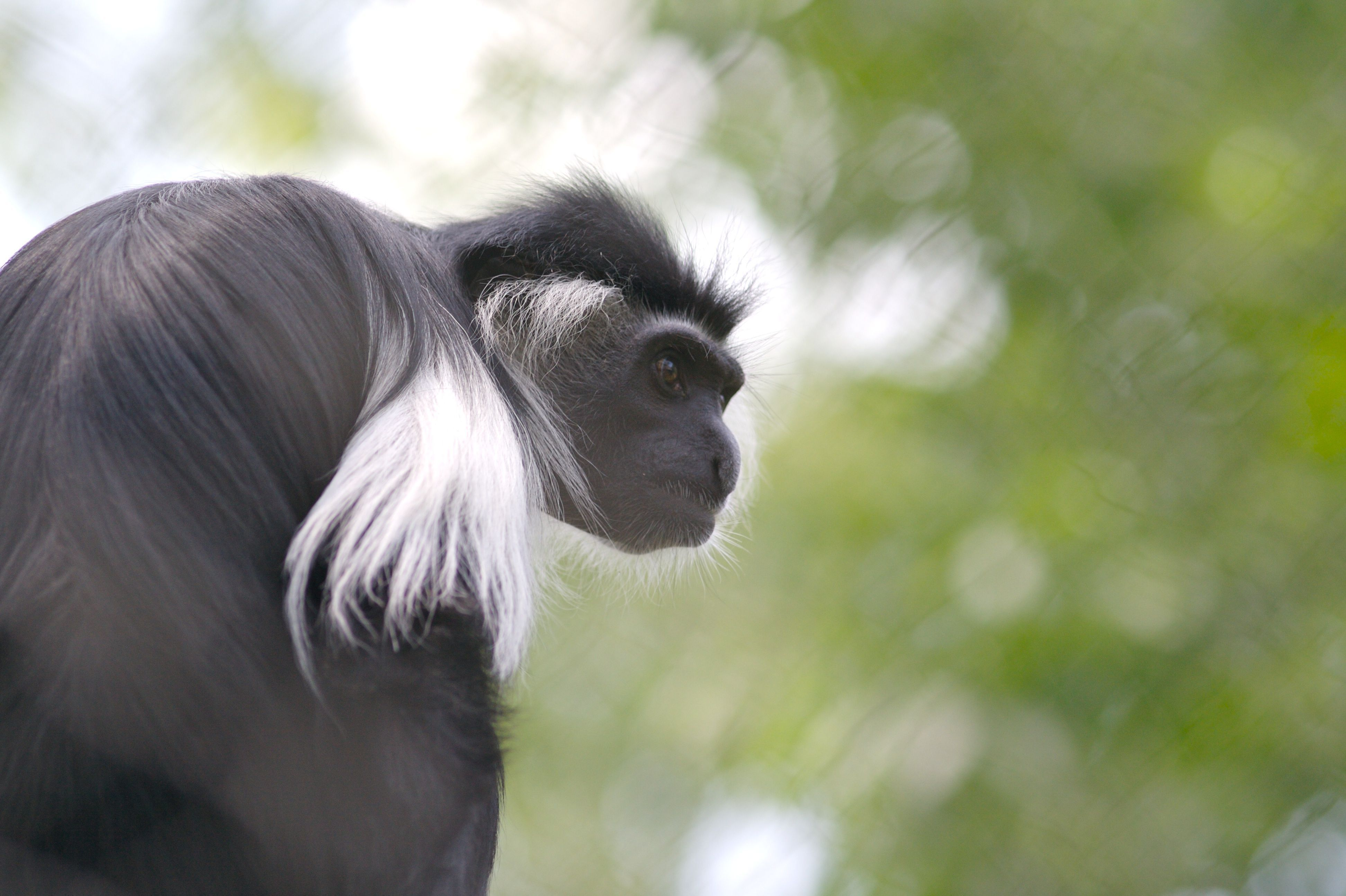 Colobus Monkey Wallpapers Backgrounds