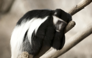 Colobus Monkey Download Free Backgrounds HD