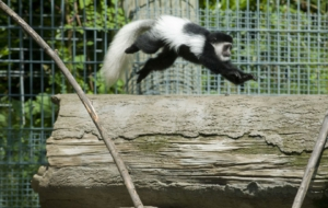 Colobus Monkey Free HD Wallpapers