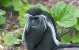 Colobus Monkey For Desktop