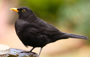 Common Blackbird 4K