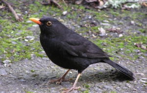 Common Blackbird Background