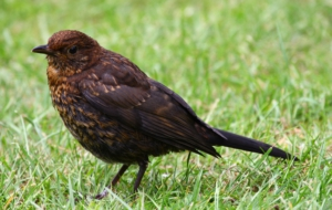 Common Blackbird Download