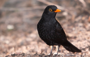 Common Blackbird Download Free Backgrounds HD