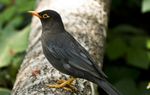 Common Blackbird Free HD Wallpapers