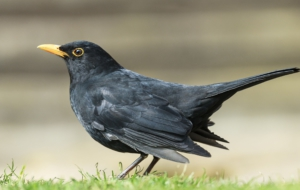 Common Blackbird For Desktop