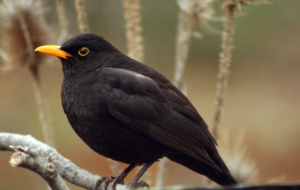 Common Blackbird For Desktop Background