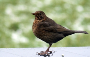 Common Blackbird Full HD