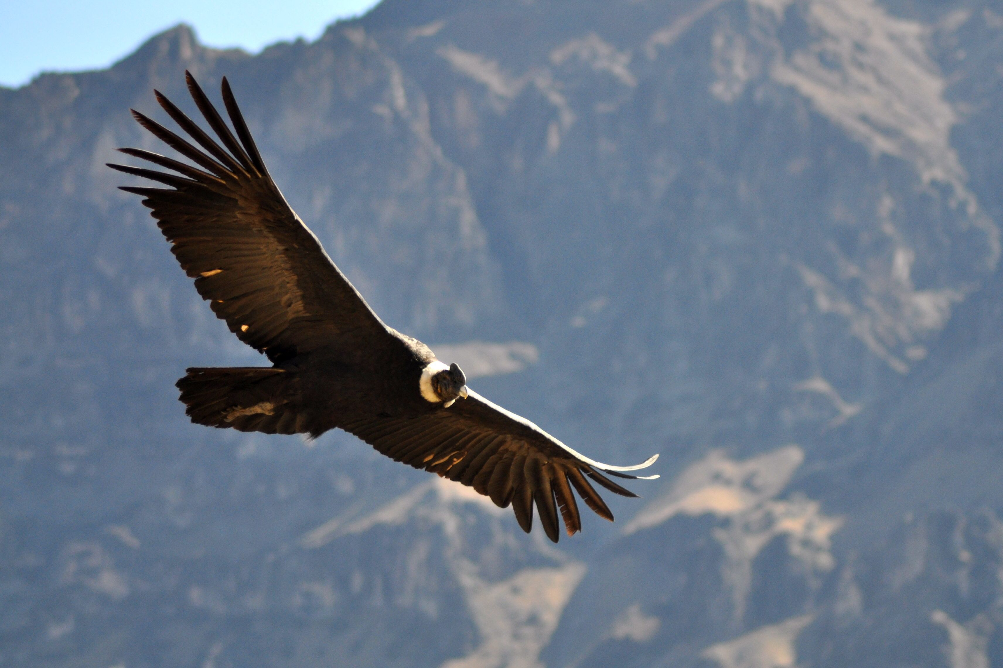 Condor Wallpapers Backgrounds