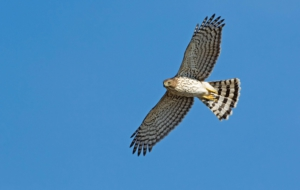 Cooper's Hawk Background