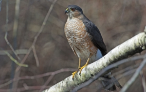 Cooper's Hawk Download