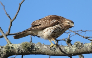 Cooper's Hawk Free Download