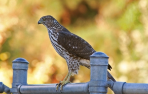 Cooper's Hawk HD Background